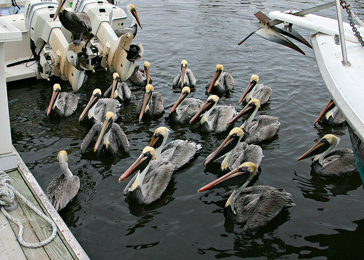 PelicanBriefingEdit