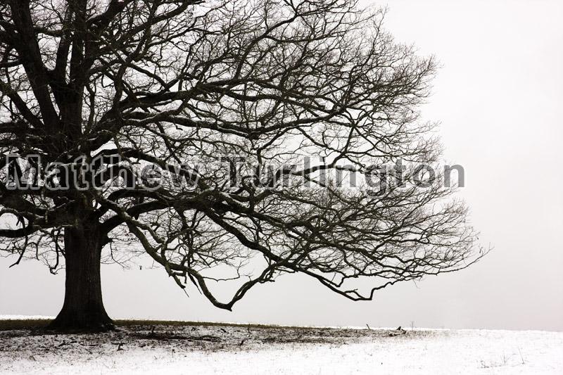 Snow Tree - 885, 2010