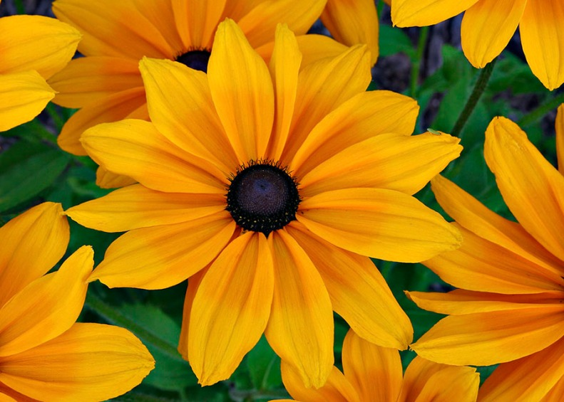 Black-eyed Susans and Little Green Bug