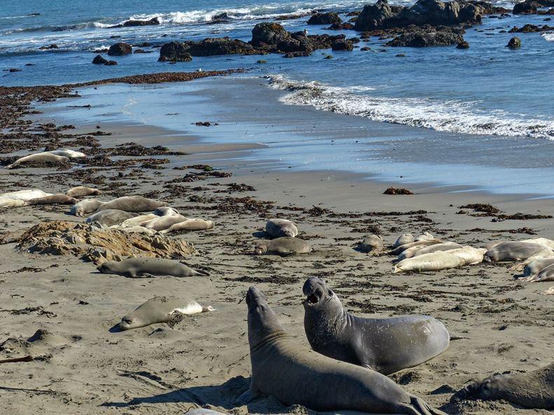 At Elephant Seal Rookery near San Simeon. The young males are in training for the coming mating wars. Hard to believe now that these seals were endangered.