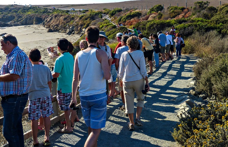 Elephant Seal Vista Point at San Simeon is a major attraction along the coast. The story of how citizens saved these endangered giants is inspiring.